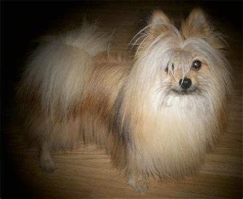 maltese mix pomeranian maltipom breed information and pictures
