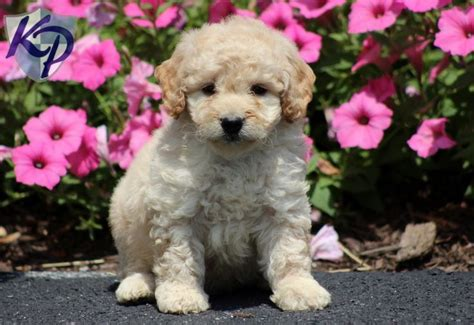 goldendoodle puppies in pa 17 best images about mini goldendoodle puppies on poodles ux ui designer