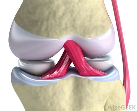 knee muscles and ligaments knee joint anatomy bones cartilages