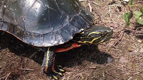 saskatchewan painted turtle could be largest of its species ctv news