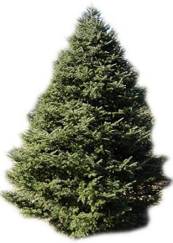 before you buy a real live christmas tree things to