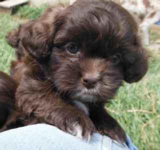 shih tzu cross poodle puppies shihpoo puppies archives day puppies