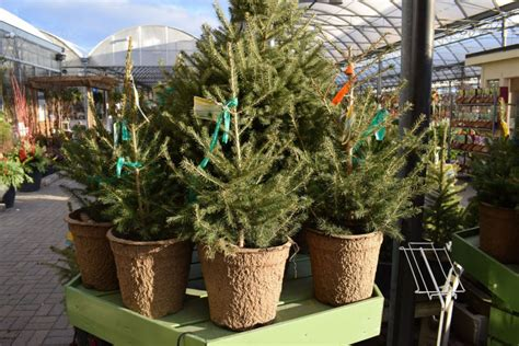 where to buy living christmas trees living trees part of an evergreen celebration toronto
