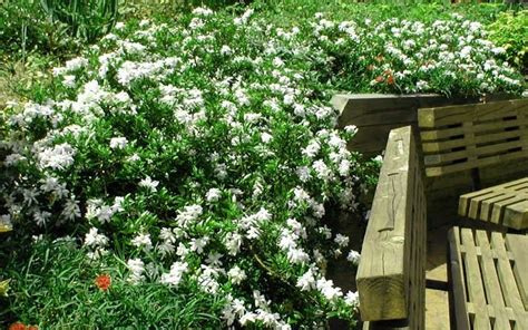 creeping dwarf gardenia 3 gallon shrub groundcover creeping dwarf gardenia 2 5 quart shrub groundcover