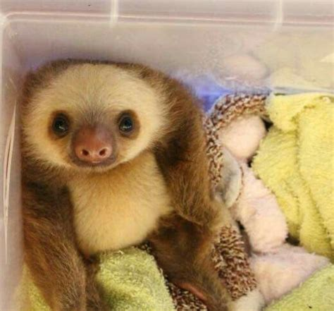 The gallery for   > Baby Sloths Tumblr