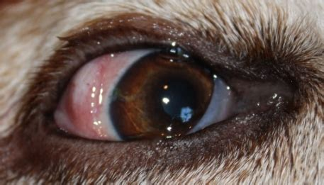 eye diseases in dogs eye diseases in dogs pictures to pin on pinsdaddy