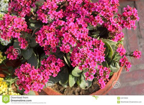 kalanchoe blossfeldiana pink stock photo image 64070659