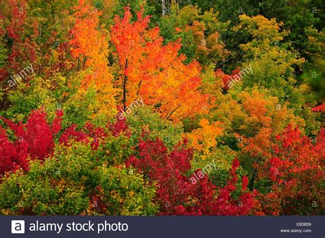 canada colors deciduous forest in autumn colours indian summer