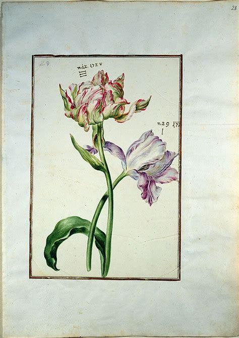 28 jpg 600 215 850 art botanical pinterest tulip