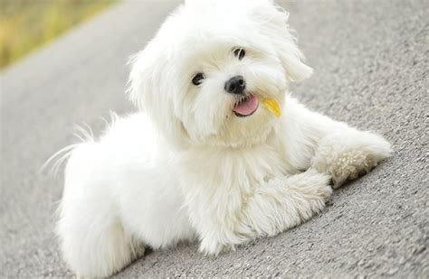 maltese pictures maltese puppies dogtime