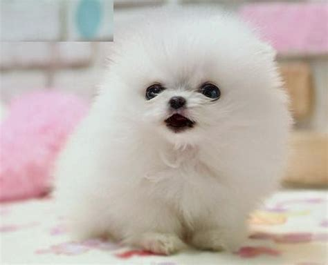 all white teacup pomeranian baby pomeranian puppies teacup