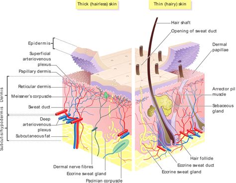 diagram of the dermis the skin boundless anatomy and physiology