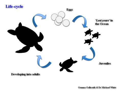 cycle of a turtle diagram traditional management