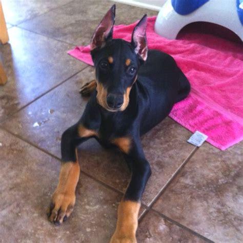 doberman puppy cropped ears best 25 doberman puppies ideas on doberman pinscher puppy doberman and