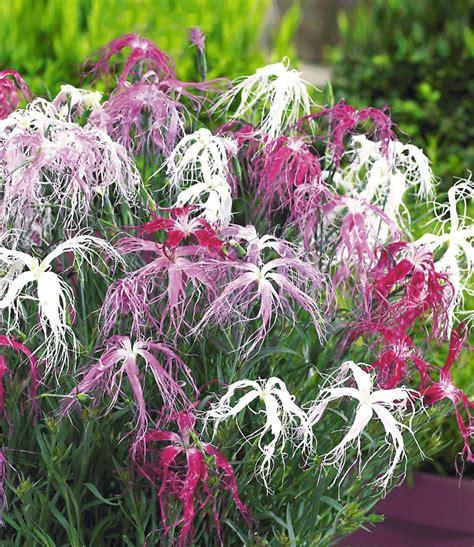 garten pflanzen winterhart dianthus geisha winterharte stauden baldur garten