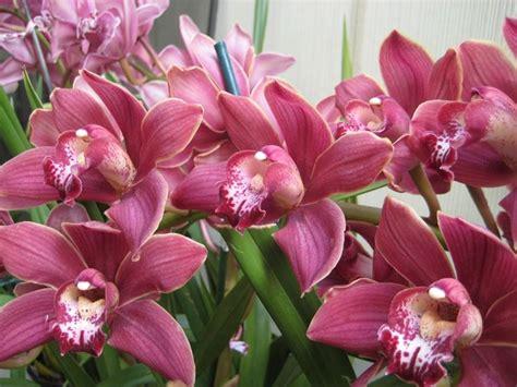 cura delle orchidee in appartamento cura delle orchidee orchidee come prendersi cura delle