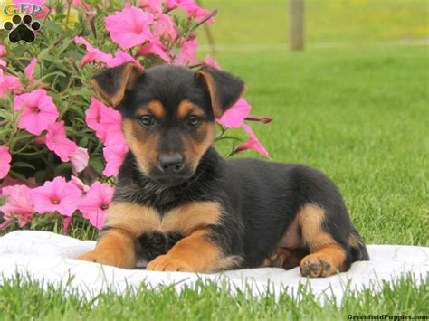 miniature german shepherd puppies for sale miniature german shepherd puppies for sale greenfield puppies