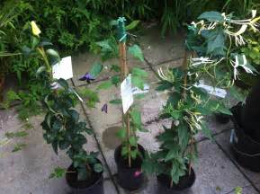 List Of Climbing Plants - three climbing plants sunil s garden