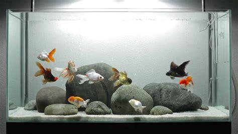 Amazing Fancy Goldfish Aquarium   YouTube