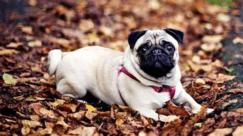 pug barking sound do you own the cutest in the world lifedaily