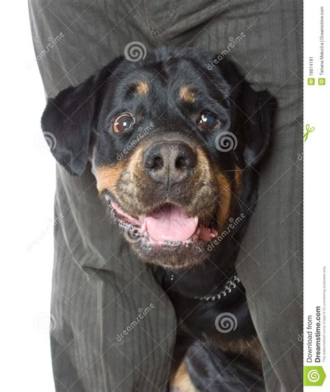 rottweiler with a the with a rottweiler in studio stock image image 18874181