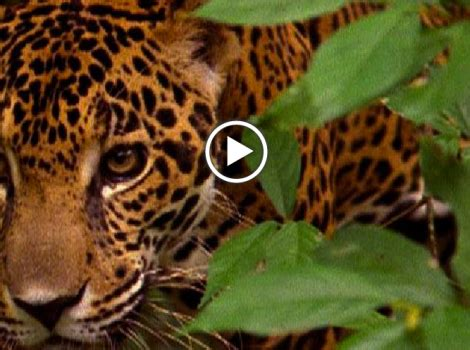 where do jaguars live in south america media monday what do ducklings in common with big
