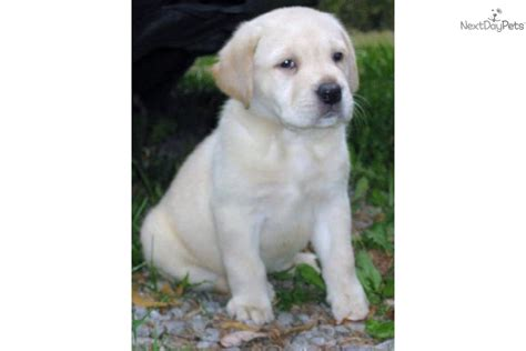lab puppies for sale in wv labrador retriever for sale for 900 near northern panhandle west virginia 7380cad0