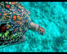 turtle colors green sea turtle maldives the colorful sea