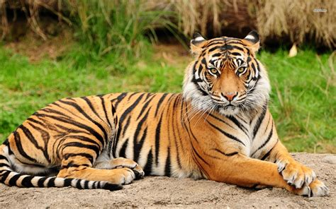 Amazing Animals Tigers tiger facts about tiger passnownow