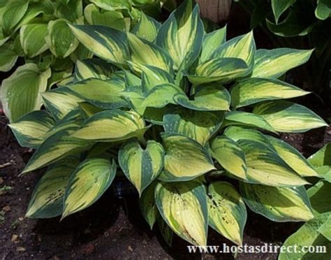 june hosta a must have sun or shade the number 1 hosta as chosen by the american hosta