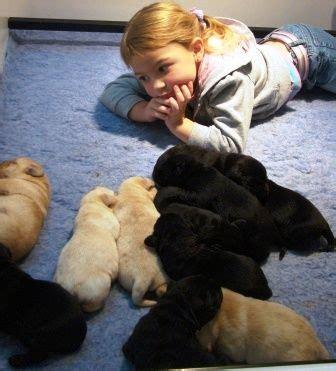 golden retriever rescue brisbane find a puppy brisbane photo