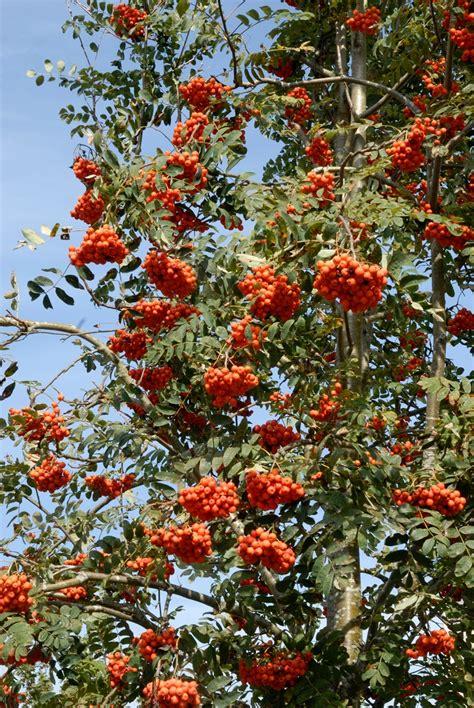 fruit d un sorbier alisier planter et entretenir ooreka