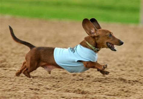 wiener races get a doggie at wiener races houston chronicle