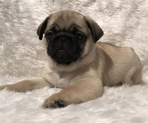 pugs puppies for sale uk beautiful pugs puppies for sale pets4homes