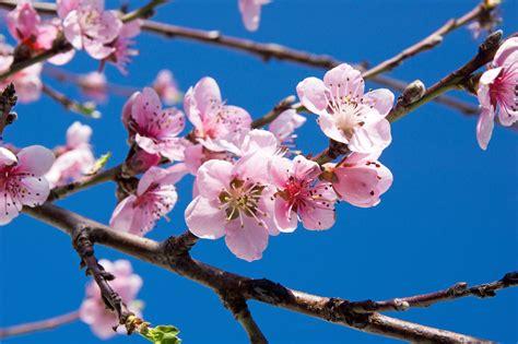 fior di ciliegio fiori di ciliegio la metafora della vita protegge la casa