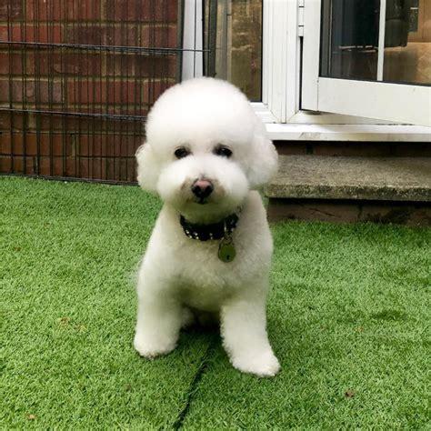 cani piccola taglia da appartamento cani piccola taglia le 36 razze di cani piccoli perfette