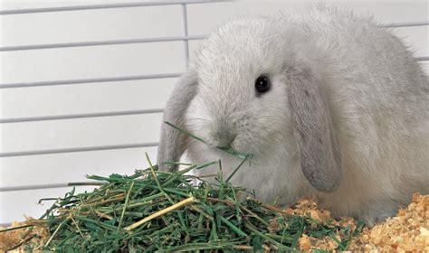 conigli nani alimentazione alimentazione coniglio nano mondopets it
