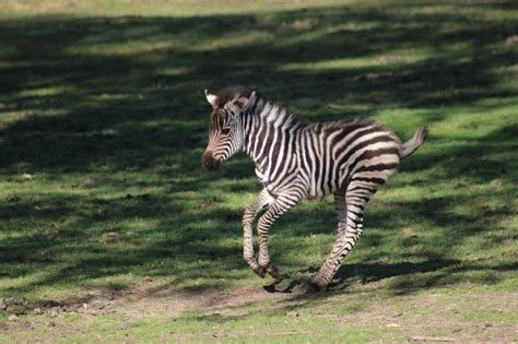 Baby Zebra photos baby zebra at taronga western plains zoo animal