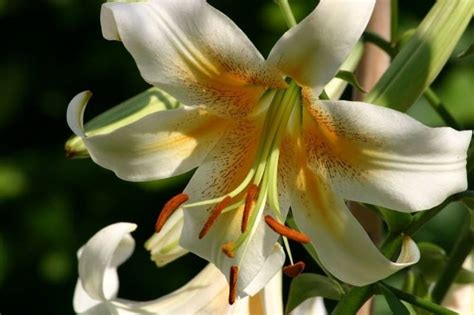 fiore giglio significato significato giglio linguaggio dei fiori