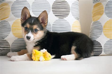 corgi australian shepherd mix puppies pets on husky puppys and pomeranian husky