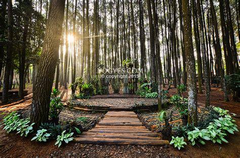 foto keren bukti hutan pinus mangunan wajib segera kamu