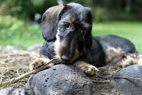 dachshund puppies idaho wire haired dachshund idaho merry photo