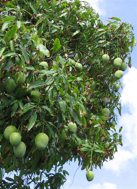 mango tree with fruits why you should eat mango often the fancy flora