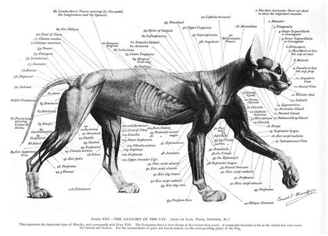 cat neck muscles diagram 161 best images about contemporary science