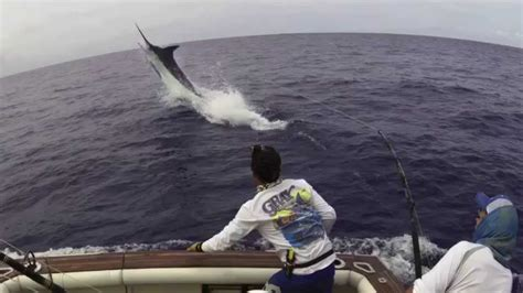 Dangerous 1 2t fighting blue marlin 1075 lbs grander amazing jumps