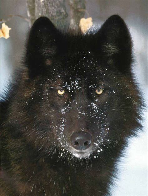loup Growling Black Wolf With Yellow Eyes