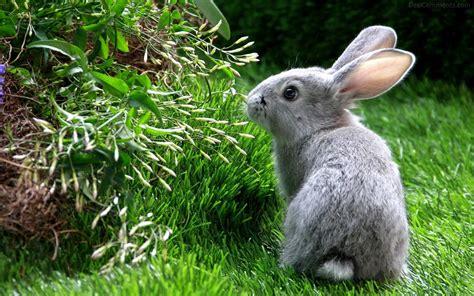Grey Rabbits animal wallpapers page 9