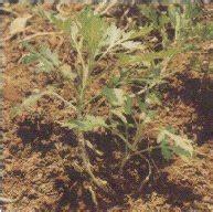 Anuma Artemisia Annua Tanaman Obat My Book Laman 5