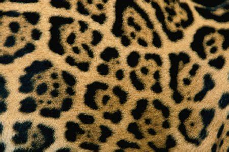 jaguar pattern house cat how to tell apart cheetahs leopards and jaguars the