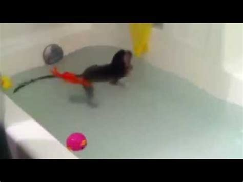 cosmo the baby monkey swims in the bathtub for the